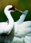 Whooping Crane Crane Foundation Wisconsin Nature Bird Photography