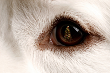 Dog Eye Great Pyrenees