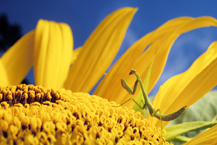 Praying Mantis Sunflower Flower Nature Photographer